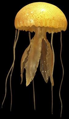 Glass jellyfish