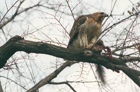 Hawks in tree