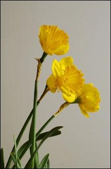 photograph of daffodils