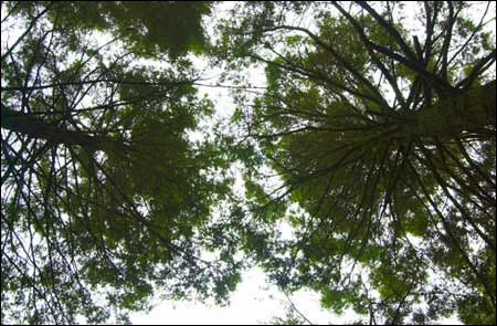 hemlocks from below