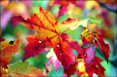 brilliant autumn leaves