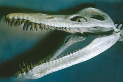 The Harvard Museum of Natural History's famous 42-foot Kronosaurus queenslandicus skeleton — the head of which is shown here — is an example of a sauropterygian. Scientists now say that species like this one thrived in the world's oceans millions of years ago after evolving genetic sex determination and live-born young.