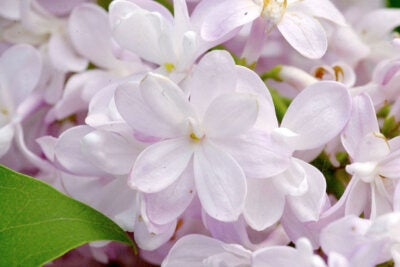 The Arnold Arboretum will feature the winning design on custom Lilac Sunday shirts.