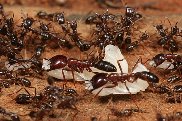 Army ants are nomadic and colonies emigrate frequently. This picture shows workers of Dorylus molestus that carry white pupae in a colony emigration at Mount Kenya.