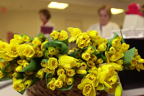 Harvard kicks off Daffodil Days this month. The Harvard community can order through more than 100 area coordinators in various departments and Schools.