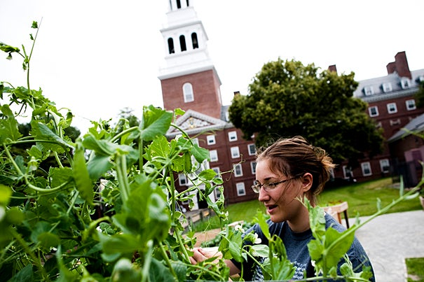 Emily Osborne '12 harvested snow peas during the first community workday at the new Harvard Community Garden on Mount Auburn Street.