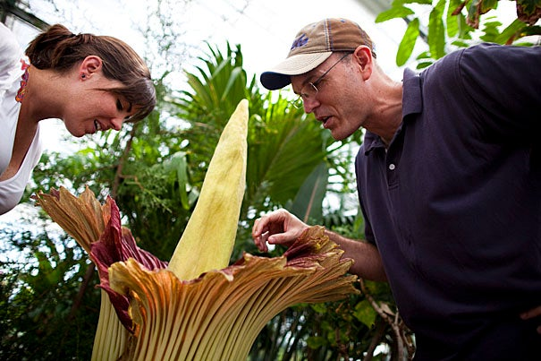 Harvard Herbaria's titan arum plant flowers for the first time in the greenhouse at the Biological Labs. This very charismatic species, native to the rainforests of Sumatra, is relatively rare in cultivation. Ron Clouse, Ph.D. '10, inspects the plant with  Stephanie Aktipis, Ph.D. '09.