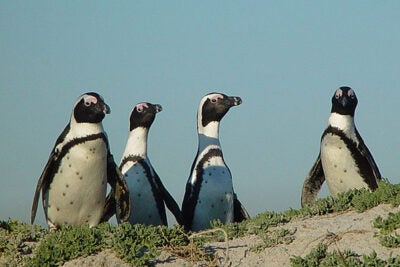 "The Earthwatch Institute in Allston will feature a talk titled ""Saving the Penguins of Robben Island, South Africa."""