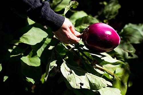 Impressive eggplant