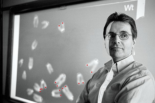 Researchers led by Ronald A. DePinho (above), a Harvard Medical School professor of genetics, say their work shows for the first time a dramatic reversal of many aspects of age-related degeneration in mice, a milestone in aging science achieved by engineering mice with a controllable telomerase gene. The projection of chromosomes seen here shows telomeres (highlighted in red) on their ends.