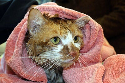 Earlier this year, Grandma Moses (pictured) was rescued from a submerged cat carrier in the Charles River. She was cared for at the MSPCA-Angell before being adopted. Founded in 1868, MSPCA-Angell is the second-oldest humane society in the United States.