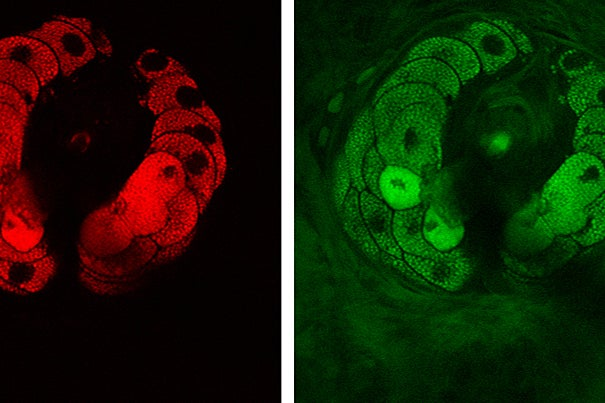 Pictured are structural components of tissue — lipids (red) and proteins (green). The images show a sebaceous gland wrapping around a hair in the viable epidermis of mouse skin.
