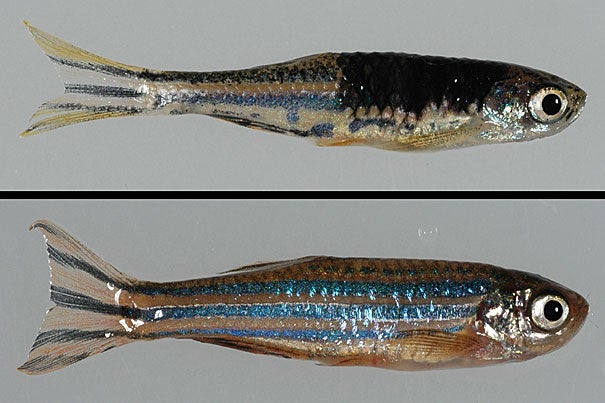 Leonard Zon said his group is waiting for FDA approval of a drug that blocks the function of the gene BRAF, which has long been known as a melanoma promoter. The path toward the new findings began in 2005 with the development of a zebrafish model of human melanoma. The zebrafish on top displays a melanoma tumor while the zebrafish below is healthy.