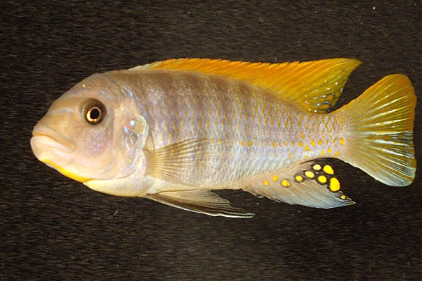 """Using a new form of laser imaging device, Brooke Flammang and colleagues at Harvard's Museum of Comparative Zoology have discovered that """"the dorsal and the anal fin make a great contribution to the caudal [tail fin] wake,"""" and thus are additional propellers, and not just stabilizers. A cichlid swims in the particles that the laser illuminates."""