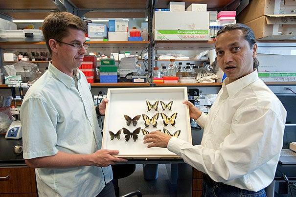 "Marcus Kronforst (left) and Krushnamegh Kunte at Harvard's FAS Center for Systems Biology used genetic analysis to examine the evolutionary history of the Appalachian tiger swallowtail, discovered in 2002. ""Our work provides perhaps the first animal example that illustrates how hybrid species may be selectively favored when they inherit from their parent species-specific combinations of genes that underlie important ecological traits,"" said Kunte, a postdoctoral fellow at the center."