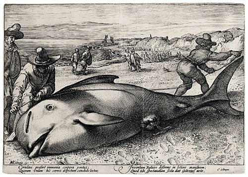 'Pilot Whale Beached at Zandvoort'