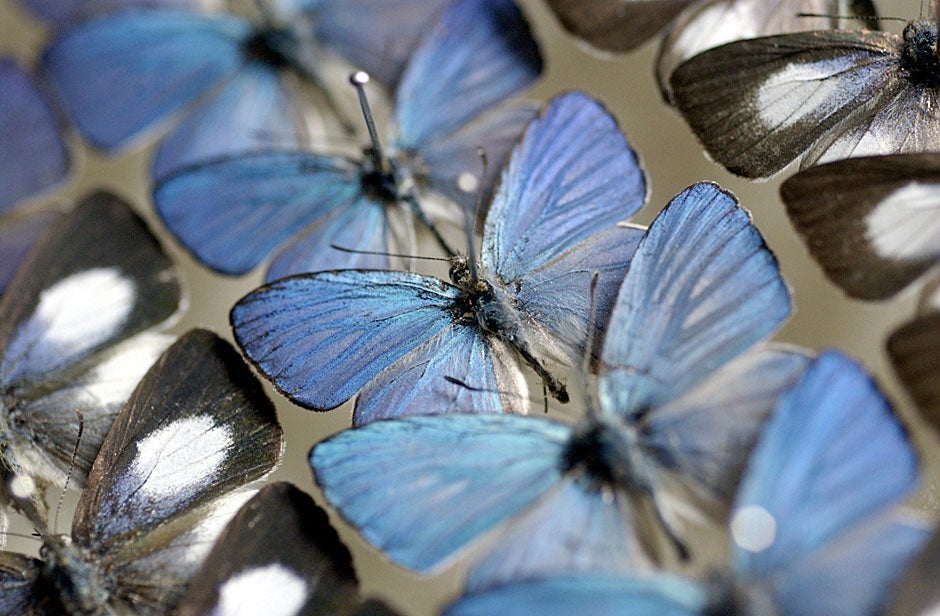 Australian butterflies preserved inside the Museum of Comparative Zoology. Stephanie Mitchell/Harvard Staff Photographer