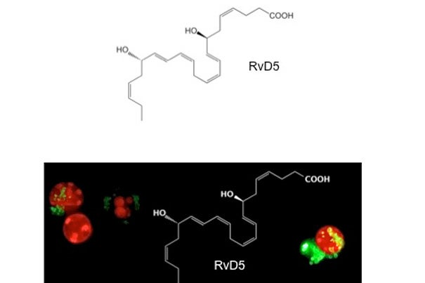 RvD5 stimulates white blood cells (red) to ingest E.coli (green).