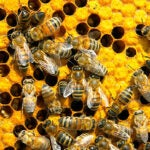 """""""The significance of bees to agriculture cannot be underestimated,"""" says Alex Lu, associate professor of environmental exposure biology. """"And it apparently doesn't take much of the pesticide to affect the bees. Our experiment included pesticide amounts below what is normally present in the environment."""""""