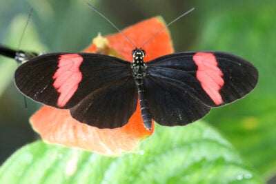 An international group of researchers examined the genome of the Postman butterfly (above), a well-known species that lives in the Peruvian Amazon, and then used that data as a guide to look at two other closely related butterfly species. They discovered that the species look similar because they share the parts of their DNA that deal with color patterns.