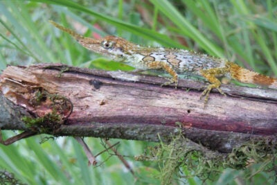 Teams of researchers from Harvard and the University of New Mexico, working with colleagues in Ecuador, have shed new light on the behavior of the proboscis anole, a lizard once known by just six specimens worldwide, and thought to be close to extinction. Their work is described in two recent papers in Breviora, the journal of Harvard's Museum of Comparative Zoology.