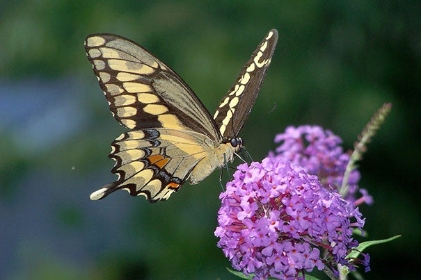 The giant swallowtail, a Southern butterfly that is usually only seen as an occasional stray in New England, has been present in high numbers in Massachusetts.