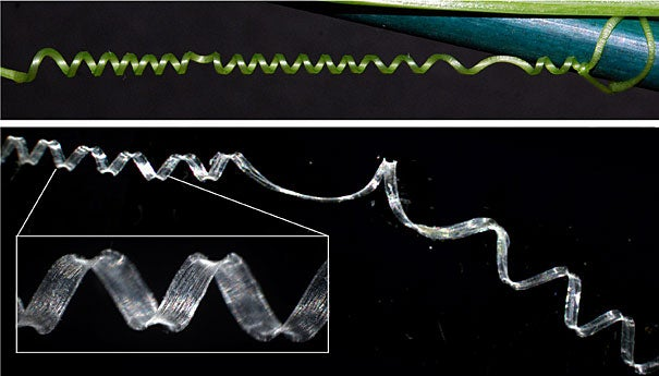 An intact cucumber tendril (top) and a fiber ribbon (bottom) that has been extracted from a tendril both coil in the same, predictable way. Studying the cellular structure of these tendrils has helped researchers to understand a new type of spring.