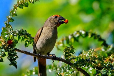 Greater Antillean bullfinches use their deep and wide beaks to crush seeds and hard fruits. Harvard researchers have found that the molecular signals that produce a range of beak shapes in birds show even more variation than is apparent on the surface.
