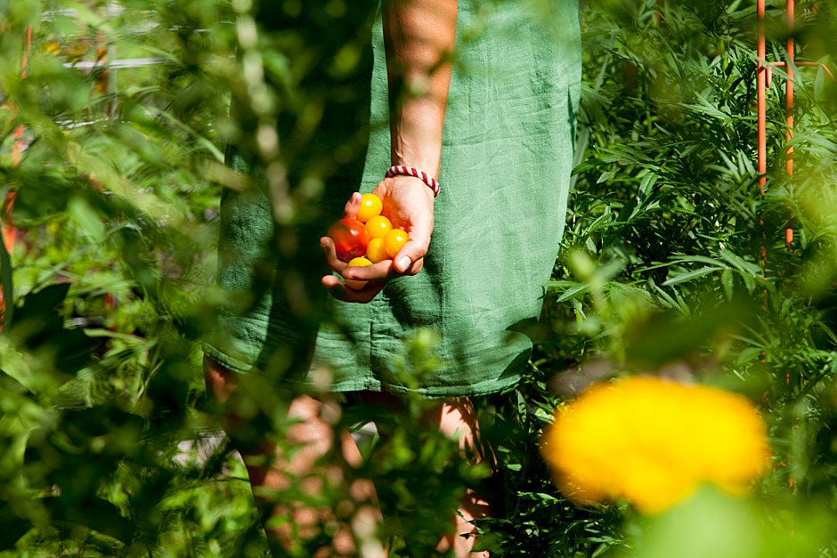Harvard Divinity School student Hillary Collins-Gilpatrick lends a hand harvesting cherry tomatoes.