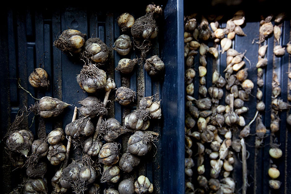 Last year's garlic bulbs are stored and dried.