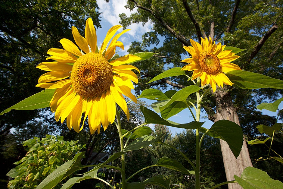 Sunflowers add color to an already vibrant place.