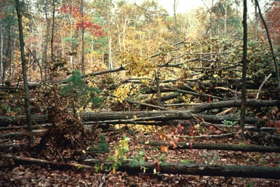 "In 1990, the Harvard Forest hurricane pulldown area was a jumble of downed trees. According to David Foster, director of the Harvard Forest, ""Leaving a damaged forest intact means the original conditions recover more readily."""