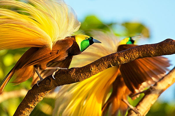"""Adult male greater bird of paradise shaking his plumes as part of his display. When attracting a female, the male will turn away from the female on a downward-sloping branch so his yellow plumes are displayed in an """"explosion of color."""""""