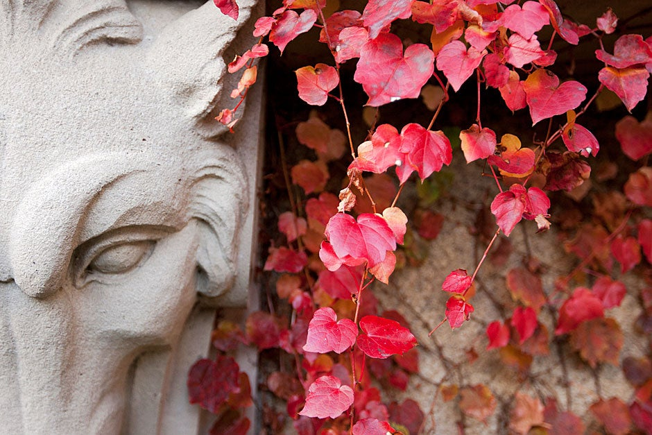 "Hidden in autumn's red ivy is one of the five garden animals adorning the lower building wall under the first-story windowsills of the Guido Goldman Seminar Room. In the book ""An Iconography of Adolphus Busch Hall,"" Guido Goldman wrote, ""The menagerie of ram, fox, boar and wolf stands here perhaps as a representation of nature's sentinels or merely provides sculptural ornamentation of a rather traditional type found frequently in medieval architecture."" Rose Lincoln/Harvard Staff Photographer"