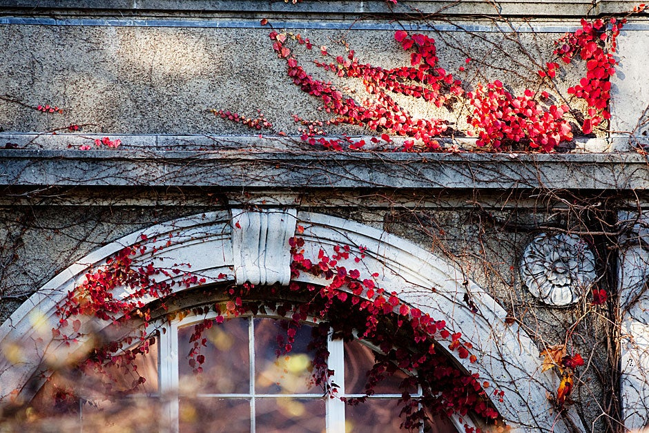 Ivy tendrils add a vibrant hue to the neutral-colored stucco walls. Building manager Sandy Selesky, who has worked at Harvard for 40 years, plants geraniums, pansies, and impatiens in the courtyard in spring and summer. Rose Lincoln/Harvard Staff Photographer