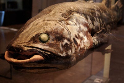 "Coelacanths today closely resemble the fossilized skeletons of their ancestors of more than 300 million years ago. Their genome confirms what many researchers had long suspected: Genes in coelacanths are evolving more slowly than in other organisms. ""This is the first time that we've had a big enough gene set to really see that,"" said Jessica Alföldi, a research scientist at the Broad Institute of Harvard and MIT."