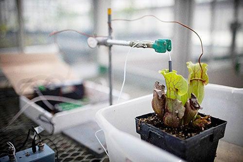 pitcher-plant-greenhouse-experiment_John-Hirsch_500
