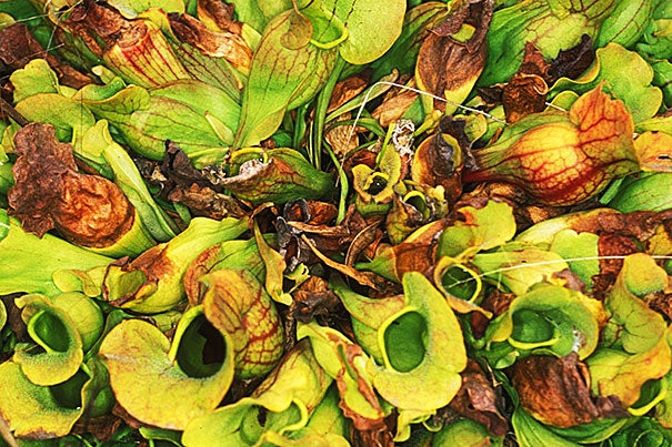 Each leaf of the northern pitcher plant can be used as a replicate microecosystem with which to explore tipping points, regime shifts, and alternative states.