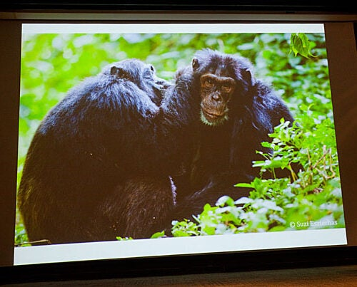 """The threats to chimpanzees are, of course, enormous. The loss of forest is too fast to estimate well,"" said Harvard Professor Richard Wrangham. He and Elizabeth Ross, founder and executive director of the Kasiisi Project in Uganda, described in a Harvard talk the difficult present for chimpanzees in Uganda's Kibale National Park, their potentially bleak future, and the sources of hope."