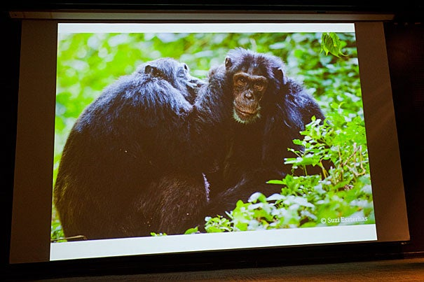 """""""The threats to chimpanzees are, of course, enormous. The loss of forest is too fast to estimate well,"""" said Harvard Professor Richard Wrangham. He and Elizabeth Ross, founder and executive director of the Kasiisi Project in Uganda, described in a Harvard talk the difficult present for chimpanzees in Uganda's Kibale National Park, their potentially bleak future, and the sources of hope."""