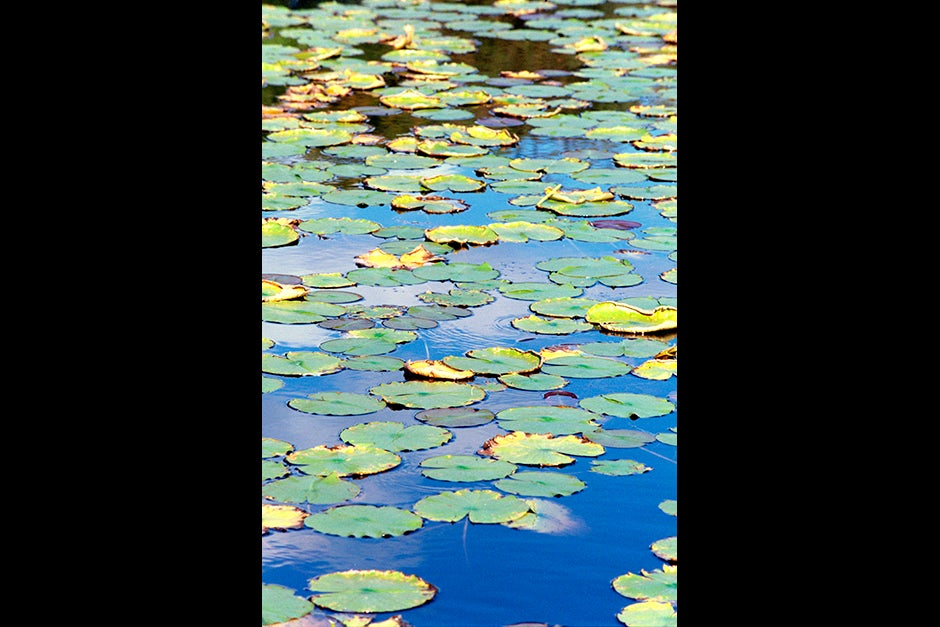 Green and yellow lily pads float in a blue pond at the Arboretum. Justin Ide/Harvard Staff Photographer
