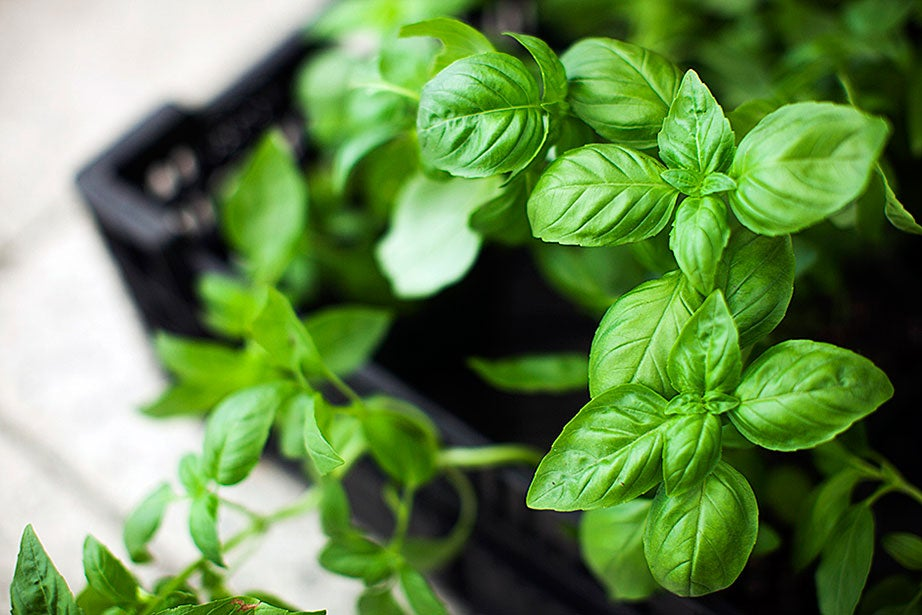Everyone knows how good basil is on pizza and in paninis, but did you know it's said to ease cold symptoms, too? Try boiling the leaves and sip it with honey to alleviate a sore throat and cough.