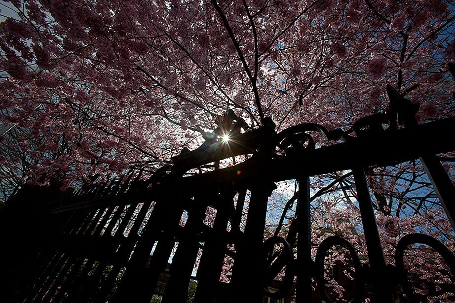 Sunlight shines through the cherry and crab apple trees at Loeb House. Kris Snibbe/Harvard Staff Photographer