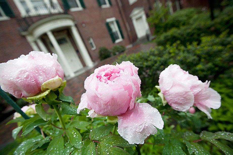 Dewy peonies glisten outside Loeb House. Kris Snibbe/Harvard Staff Photographer
