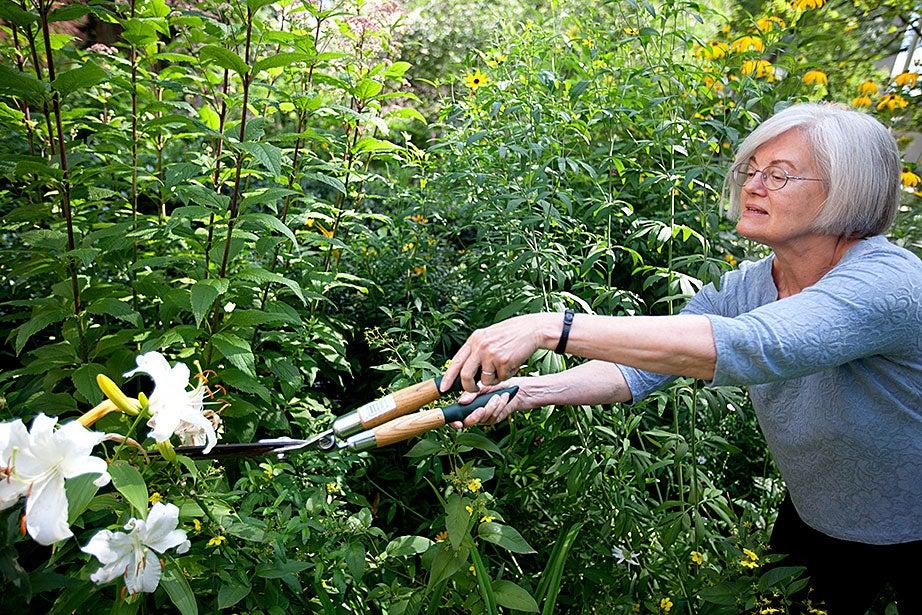 Elizabeth Gray prunes back some overgrowth in the Loeb House garden. Kris Snibbe/Harvard Staff Photographer