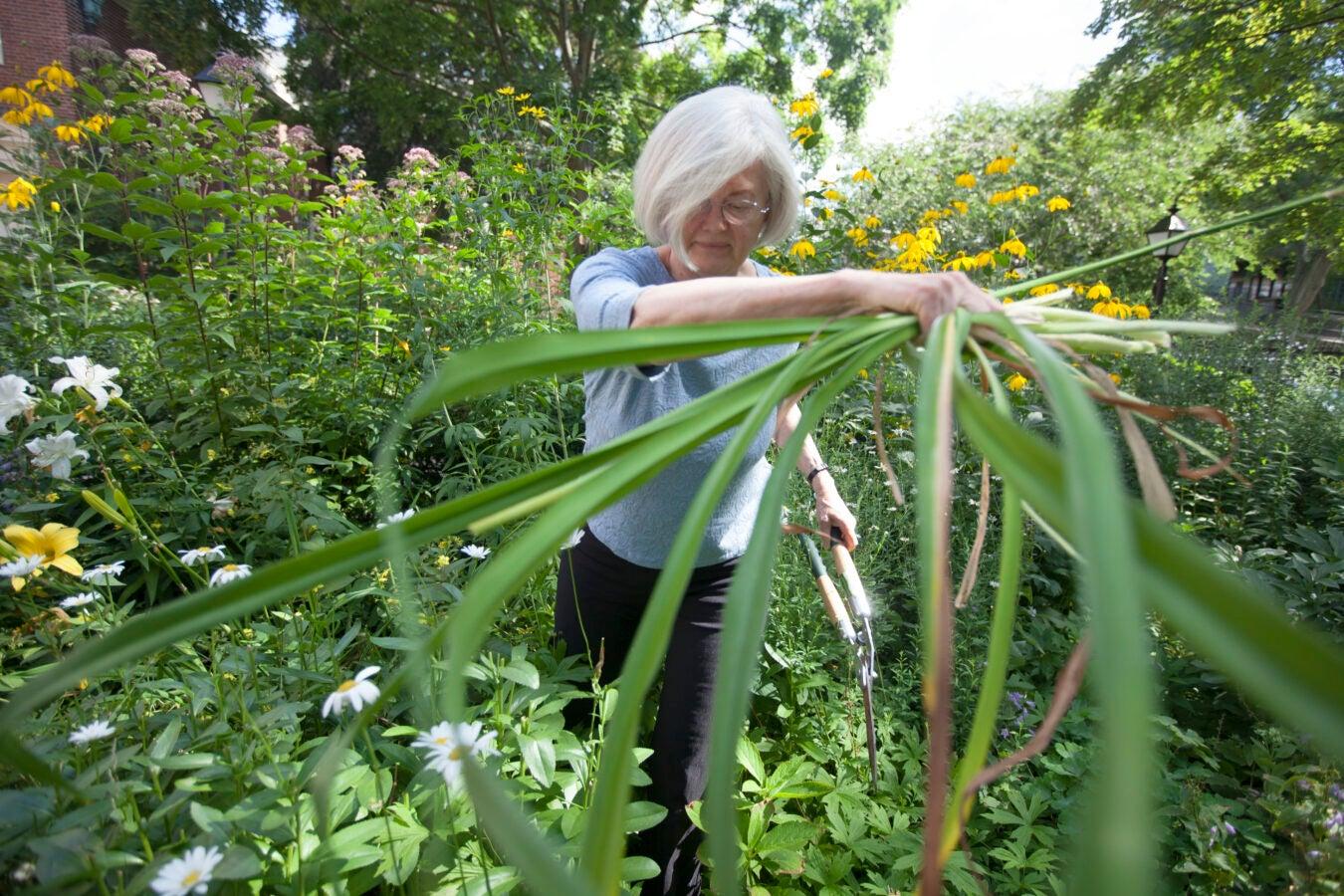 Elizabeth Gray works in the garden. Kris Snibbe/Harvard Staff Photographer