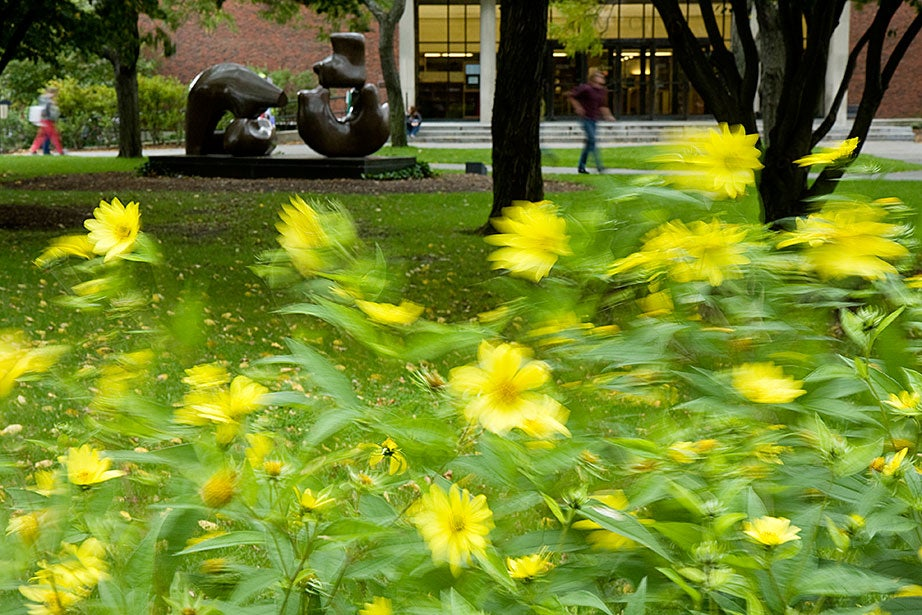 Yellow blooms are ruffled by the wind outside Loeb House, which is located across from Lamont Library. Jon Chase/Harvard Staff Photographer