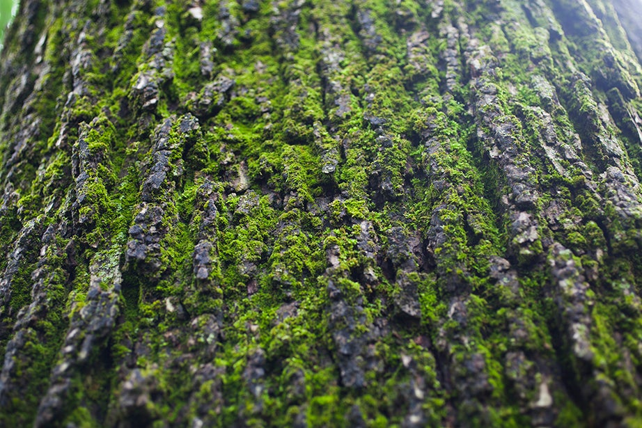 Moss grows on the bark of an English elm in Harvard Yard.