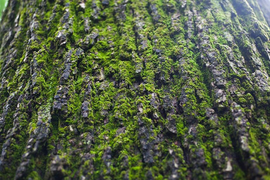 Moss grows on the bark of an English elm in Harvard Yard.