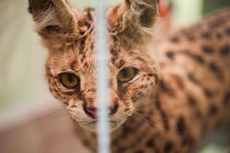A Leptailurus serval is on display in the Harvard Museum of Natural History.